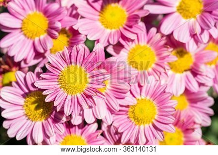 Close Up Chrysanthemum Flowers With Red Purple Ray Florets And Yellow Disc Florets