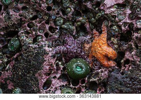 Ochre Sea Stars In Oregon