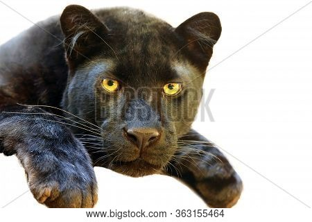 The Leopard (panthera Pardus) Portrait. Melanistic Leopard Are Also Called Black Panther. Isolated P