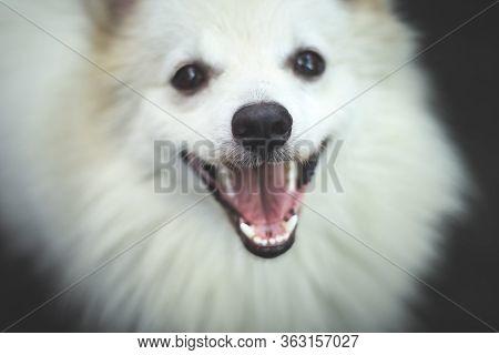 Portrait Of Indian Spitz Dog. White Pomeranian Dog Spitz.