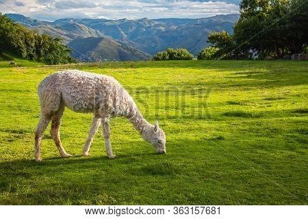 Llamas And Alpacas At Sacsayhuaman, Incas Ruins In The Peruvian Andes, Cusco, Peru