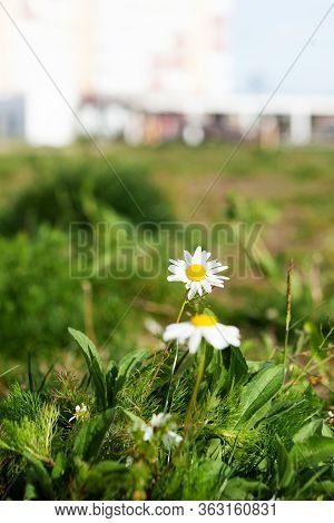Camomile Flowers. Beautiful Garden Chamomile Flowering Plants In Grass.  Top View Camomile Tea With