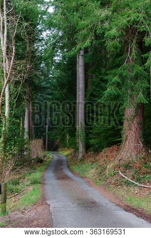 A Single Track Country Road In The Pine Forest Near Betws-y-coed In The Sonwdonia National Park