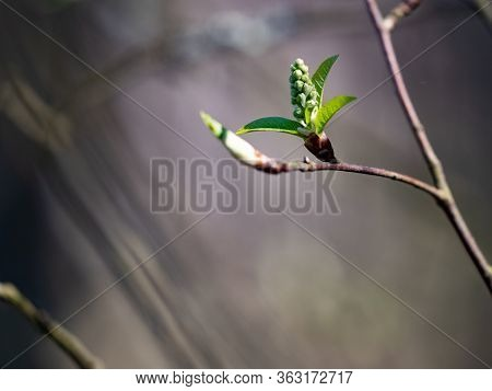 Early Spring Willow Sprout, Fresh Green Willow Sprout