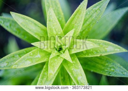 Asiatic Lily Young Leaves. View From Above.