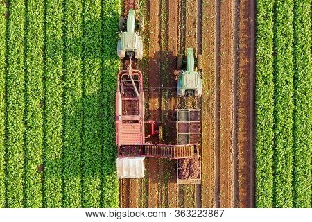 Beet Root Harvesting Process, Top Down Aerial Image.