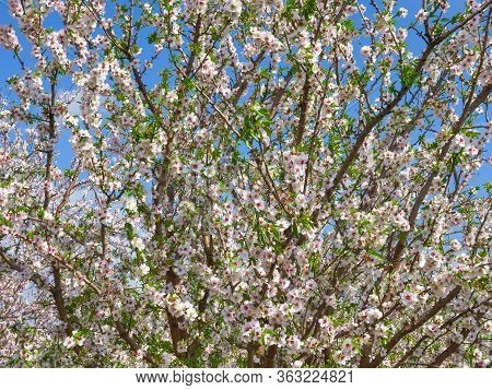 White And Pink Full Bloom Almond Tree