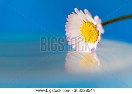A Colorful Macro Portrait Of A White And Yellow Daisy Touching The Still Surface Of Some Water Makin