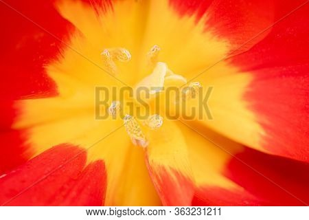 Abstract Floral Background Macro Delicate Flowers Red And Yellow Tulip. Soft Selective Focus. Blurre