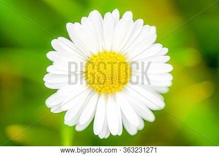 White Dasie Flower On Nature,close-up Of White Dasie Flowers In The Garden ,flower Background For De