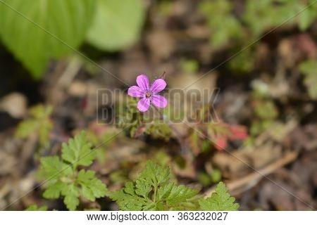 Herb Robert Flower - Latin Name - Geranium Robertianum