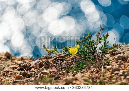 Yellow Flowers On The Edge Of The Cliff Coast, Background From Turquoise Sea With Bright Sunlight Wi