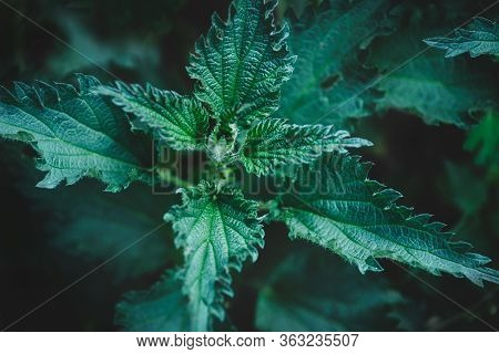 Urtica Dioica. Stinging Nettle Nature Background. Nature Leaves Background. Stinging Nettle In Natur