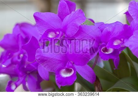 Orchid Flower In Orchid Garden At Winter Or Spring Day For Beauty And Agriculture Design. Cattleya O