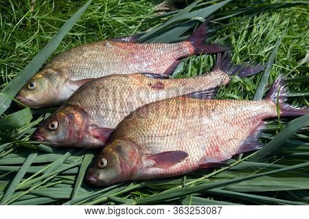 Pile Of Big Freshwater Common Bream Fish On Green Reed..