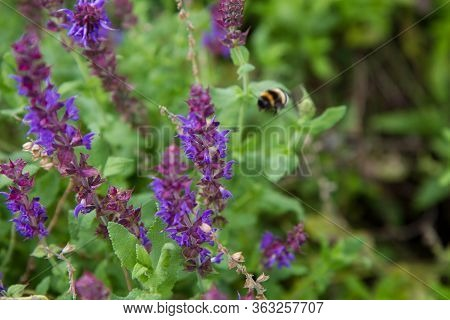 Sage (salvia) Plant Blooming In A Garden, With A Bumble Bee Out Of Focus In The Background