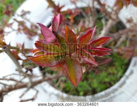 Young First Reddish Rose Leaves On The Bush