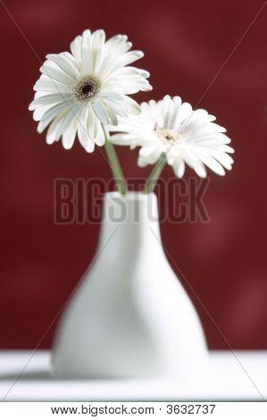 Gerbera White112