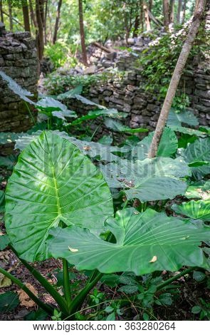 Closeup Shot Of A Giant Leaves Of A Green Tropical Plant Growing In The Jungle Near Yangshuo, China