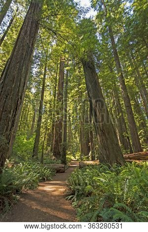 Sun And Shade On Redwood Forest Trail In Jedidiah Smith Redwoods State Park In California