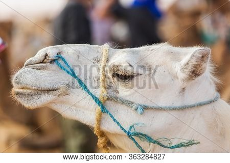 White Camel Head In Profile With Ropes On Face. Harnessed Camel. Portrait Of A Mammal. Dromedary Clo