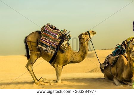 Camel In Profile With Traditional Saddle Kneeling In Golden Desert. Camel Travel. Traditional Sahara