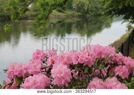 Beautiful Pink Rhododendrons In Full Bloom With A Water And Lush Green Background
