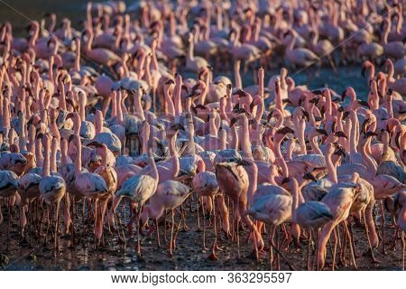 Interesting and useful birdwatching. Namibia. Huge colony of pink flamingos. Gorgeous birds feed in the shallow water of the Swakopmund. Ecological, active and photo tourism concept