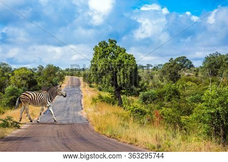 Savannah Zebra crosses a narrow road in the park. South Africa. Animals live and move freely in the  savannah. The famous Kruger Park. The concept of ecological; exotic and photo tourism