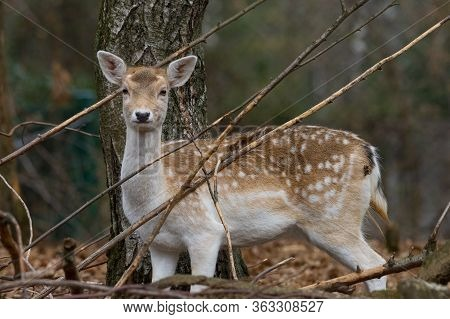 Fallow Deer In The Branches Of A Wood Watching Me, Female Cervid Mammal Also Called Dama Dama