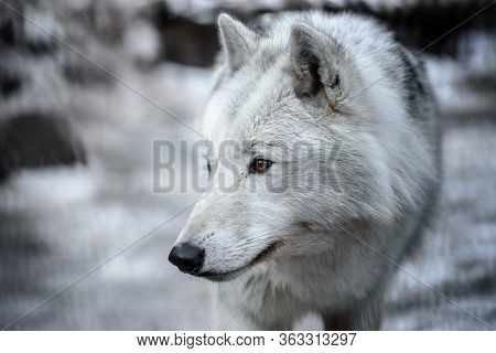 Arctic Wolf Canis Lupus Arctos Aka Polar Wolf Or White Wolf - Close-up Portrait Of This Beautiful Pr