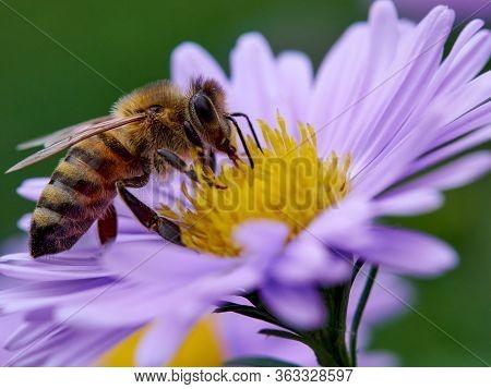 Macro Shot Of A Honeybee (apis Mellifera) Feeding On A Yellow Flower With Purple Petals