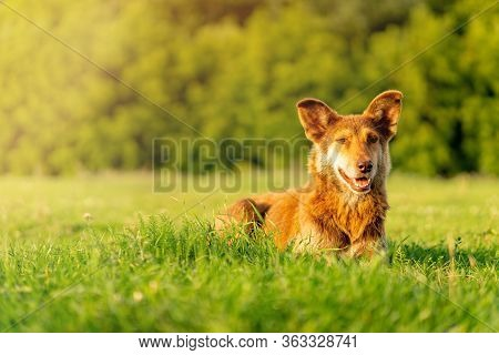 Mongrel Red Dog Lies On The Green Grass In The Park. Copy Space, Horizontal Orientation.