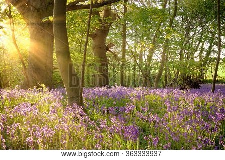 Bluebell Landscape Under The Forest Trees With Dawn Sunlight Rising. British Wild Flowers In Spring