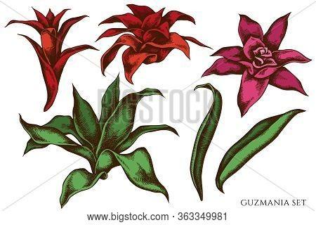 Vector Set Of Hand Drawn Colored Guzmania Stock Illustration