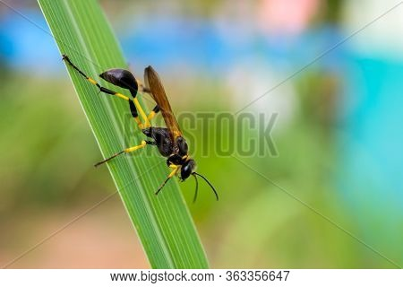 Close Up European Hornet , Hornet  Wasp On Leaf Green Background.parasitic Wasps Are Insects In The