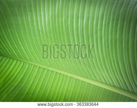Banana Leaf Close Up. Nature Background For Your Design
