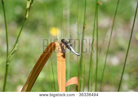 libellula depressa Broad-bodied Chaser platbuik libelle male dragonfly on grass poster