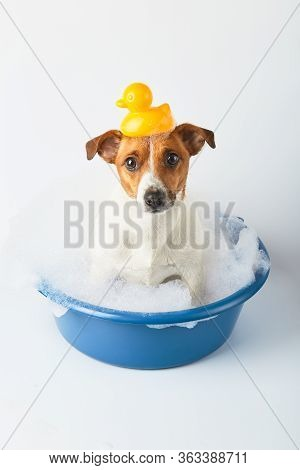 Dog Bathes In A Basin With Foam And Toy Ducks On A White Background. Funny Dog