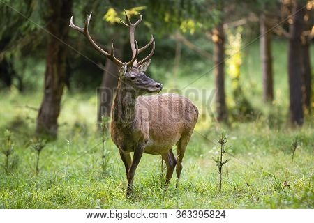 Unaware Red Deer Stag With Long Antlers Listening In Green Grass