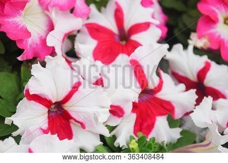 Blurry Petunia ,petunias In The Tray,petunia In The Pot, Mixed Color Petunia