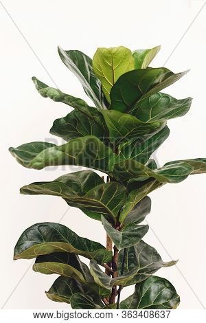 Ficus Lyrata. Beautiful Fiddle Leaf Tree Leaves On White Background. Fresh New Green Leaves Growing