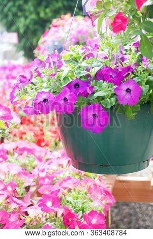 Petunia ,petunias In The Tray,petunia In The Pot, Mixed Color Petunia, Purple And Pink Color Petunia