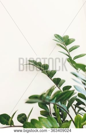 Beautiful Zamioculcas Plant In Sunny Light On Window Sill On White Background. Houseplant. Plants In