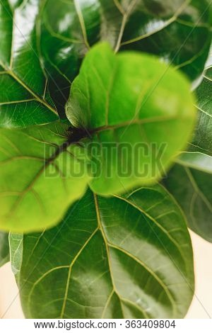 Ficus Lyrata. Beautiful Fiddle Leaf Tree, Fresh New Green Leaves Growing From Fig Tree On White Back