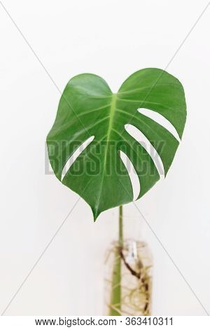 Monstera Leaf In Glass Vase On White Background With Copy Space. Modern Home Decor. Palm Leaf. Monst