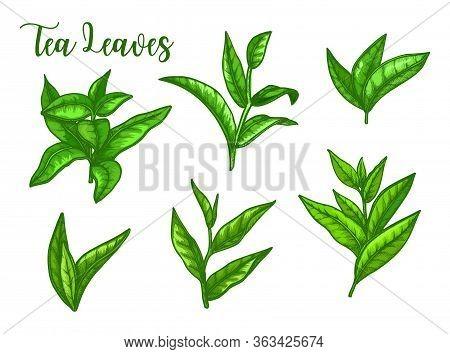 Tea Leaves Sketch, Green Tea Leaf For Package