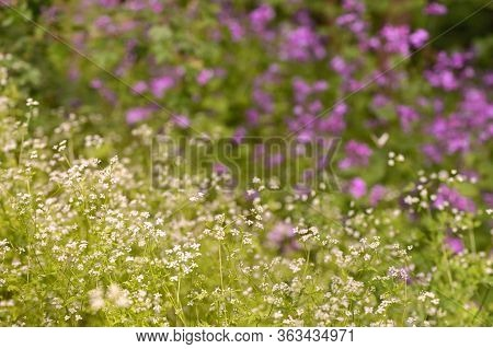 Northern Bedstraw (galium Boreale) Flowers In Spring Forest