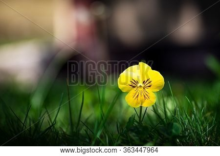Downy Yellow Violet Blooming In The Green Grass Field Closeup Macro