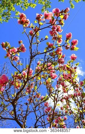 Magnolia, Nice Flower In Early Spring In The Garden And Blu Sky